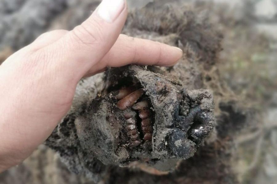 El impresionante hallazgo de un oso casi intacto de la Edad de Hielo |  Noticias Univision Ciencia | Univision