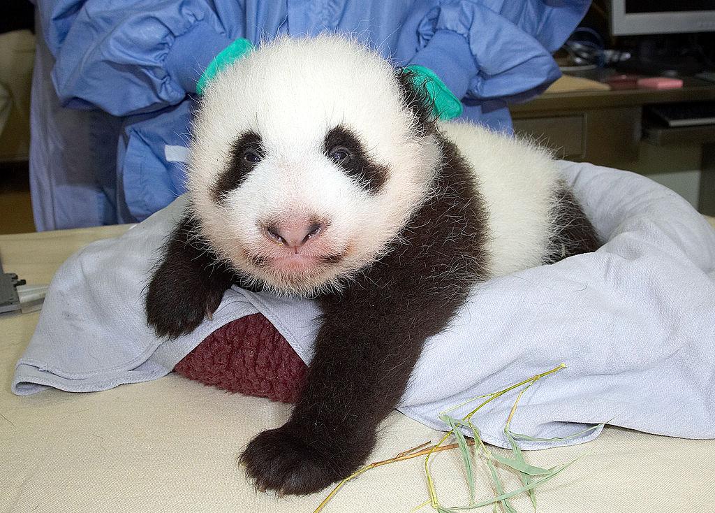 El sur de California dice adiós a los panda gigantes (fotos)