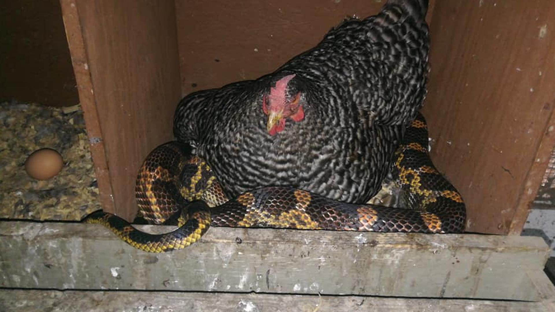 serpiente En un gallinero