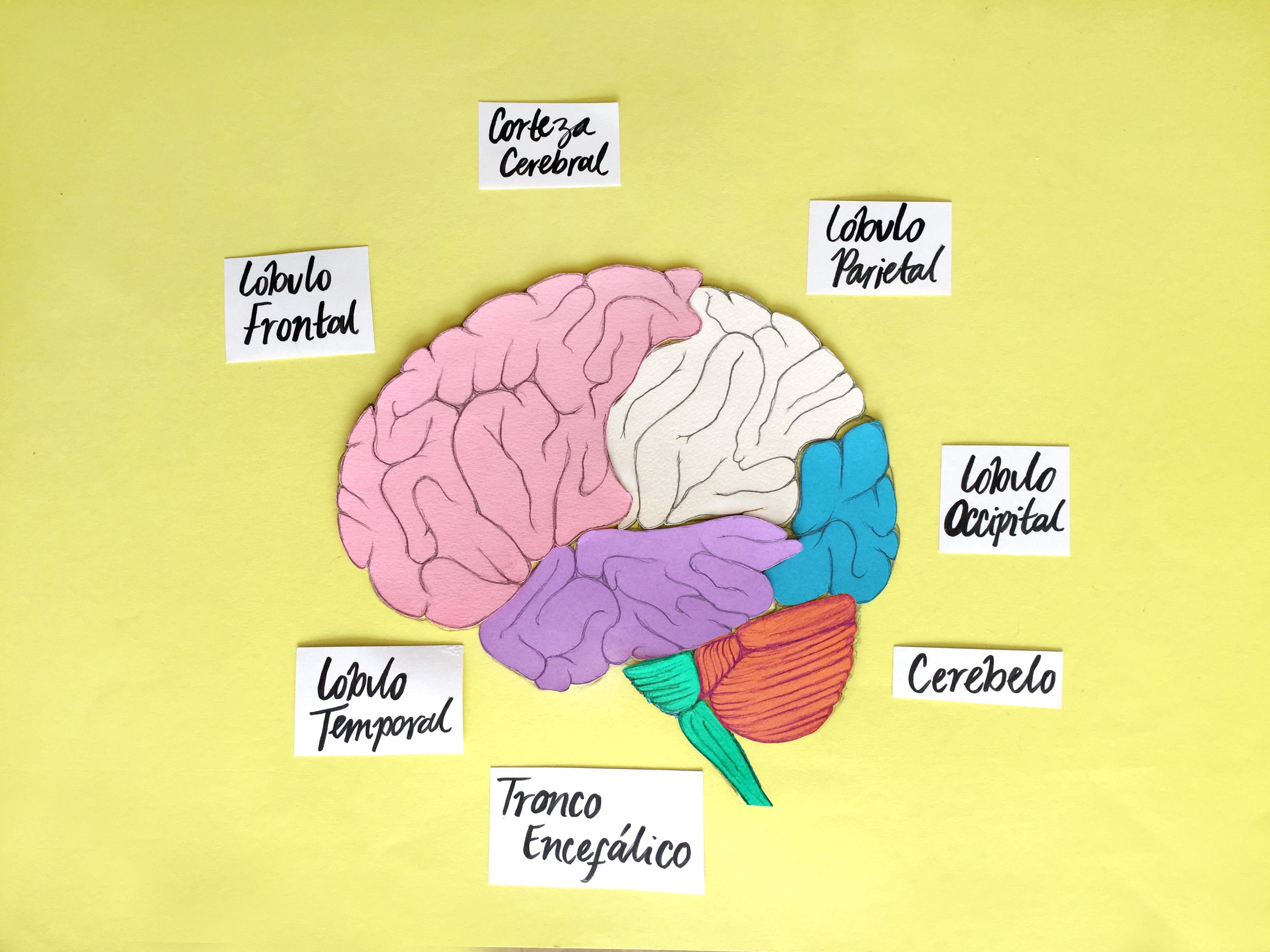 ¿Cómo funciona el cerebro, el órgano más importante y complejo?