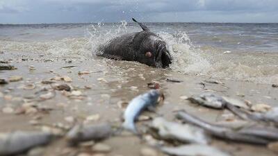 Por qué la marea roja también es perjudicial para la salud de los humanos