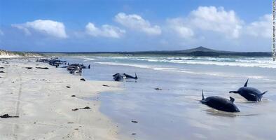 Casi 100 ballenas piloto mueren varadas en las costas de Nueva Zelanda
