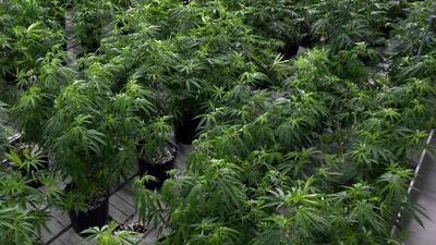 Gobernador de Nueva York despenaliza el porte de pequeñas dosis de marihuana en el estado