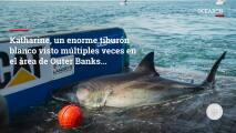 Katharine, un enorme tiburón blanco, reaparece frente a la costa de Virginia y Carolina del Norte