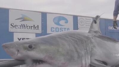 Bañistas de Orchard Beach reaccionan a la inusual presencia de un gran tiburón blanco en la bahía de Long Island