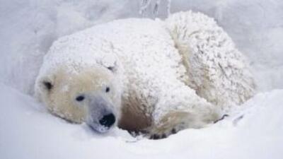 El oso polar del zoológico de Chicago no salió por el frío