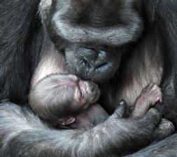 Las tiernas imágenes de la gorila Koola y su recién nacido