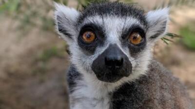 Lémur robado del Zoológico de Santa Ana aparece en un hotel junto a una nota