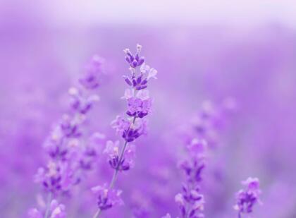 También entre sus cualidades espirituales, se cree que su lindo aroma, sea en el aceite o quemando las flores, o con el popurrí, nos ayuda a sentirnos mejor cuando nos sentimos tristes, deprimidos, tras una ruptura sentimental o simplemente si tuvimos un mal día.