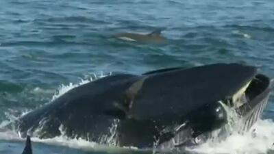 Un buzo terminó en la boca de una ballena y vivió para contarlo