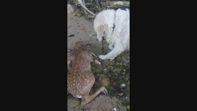 Video: El heroico rescate de un perro a un ciervo bebé de las aguas en NY