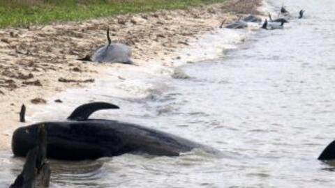 Continúan tareas de rescate de 41 ballenas varadas en costa sur de Florida