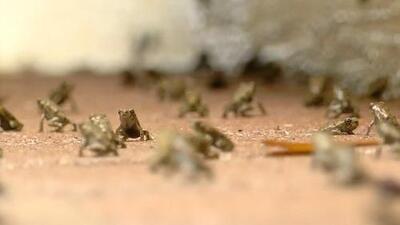 Sapos por todas partes: Una plaga de anfibios afecta a vecinos de Florida