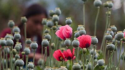 Camuflada entre plantaciones de maíz, así cultivan la amapola (base del opio) en México