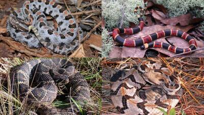 En fotos: Es temporada de serpientes en Georgia y así son las más venenosas