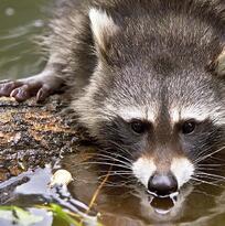Alerta de rabia en Kendall y el sur del condado tras el diagnóstico positivo de un mapache, informan autoridades