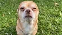 """Chihuahua """"demoníaco"""" y """"neurótico"""" que busca ser adoptado se hace viral tras honesta publicación"""