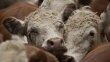Uruguay ante el desafío de sus 12 millones de vacas emisoras de metano