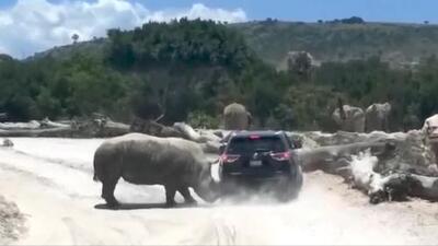 Un rinoceronte se enfrenta a un auto en México, ¿quién ganó?