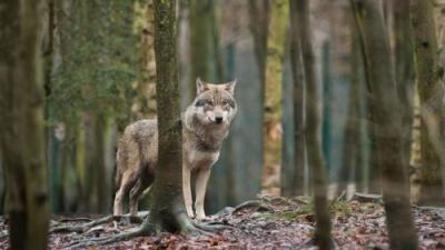 En Dinamarca, la gente está 'jugando' a ser lobos sueltos por la ciudad