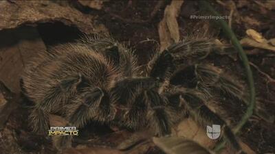 Monserrat Oliver te lleva a la selva Amazónica en busca de tarántulas