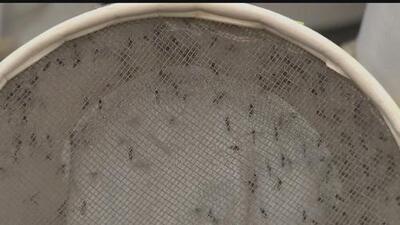 Inicia la temporada de mosquitos al norte de California
