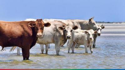 Vacas que fueron arrastradas al mar durante el huracán Dorian fueron encontradas vivas en una isla