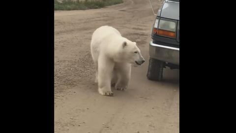 Este oso polar se acercó al auto de una familia e hizo algo que ellos nunca esperaban