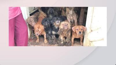 Así encontraron a 99 perros y 5 gatos dentro de una propiedad en el suroeste de Miami-Dade