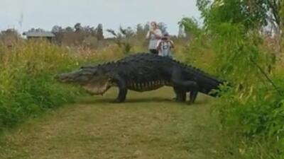 Un cocodrilo gigante es captado en cámara en Florida