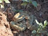 Una serpiente cascabel muerde a un niño en una escuela de Texas; mira cómo evitar casos como este
