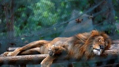 In Venezuelan zoos, shortages and inflation force animals on diets
