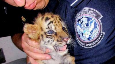 Cobras venenosas, aves canoras y tigres de Bengala: golpe al tráfico de animales exóticos en California