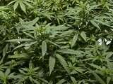 Fiscalía estatal de Miami-Dade no enjuiciará a personas por delitos menores de marihuana