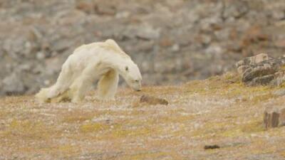 La imagen de un oso polar moribundo que hizo llorar a un fotógrafo de National Geographic