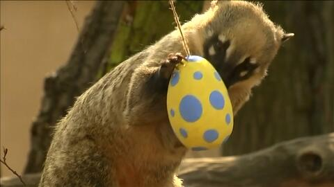 Animales en busca de huevos de pascua: así fue la celebración de la Semana Santa en este zoológico