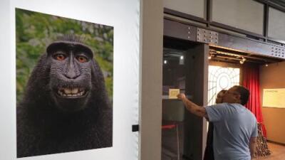 Malas noticias para el mono: perdió el juicio por los derechos de sus selfies