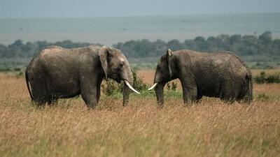 Gobierno de Trump permitirá que se importen partes de elefantes africanos como premios de caza