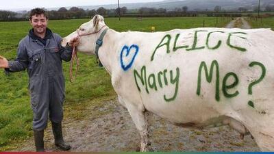 Declara su amor usando una vaca en extraña propuesta de matrimonio