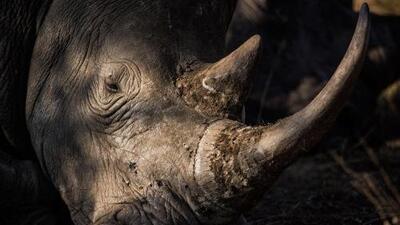 Muere un rinoceronte blanco del norte, especie en peligro crítico de extinción