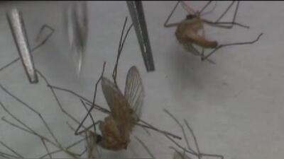Confirman el primer caso de un zancudo con el virus del Nilo Occidental en el condado Harris y piden tomar precauciones