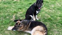 Major y Champ, los perros del presidente Joe Biden, dejarán temporalmente la Casa Blanca