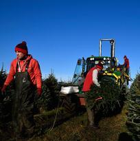 Más costoso el árbol de Navidad en el 2019