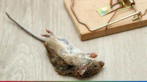 Matar ratas y cucarachas podría llevarte a la cárcel