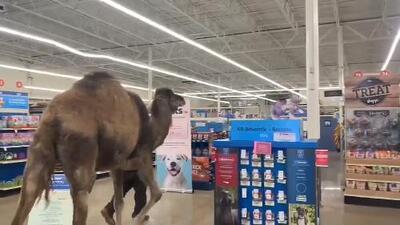 ¿Un camello de compras en Michigan? Mira el insólito video que se ha hecho viral