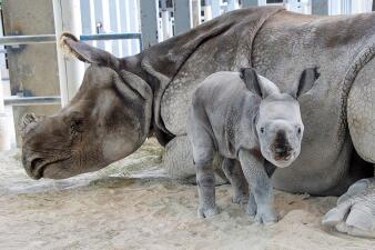 Nace el primer rinoceronte de un cuerno concebido con una rara técnica de reproducción asistida