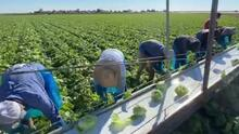 """""""Es de los trabajos más difíciles del país"""": campesinos mantienen viva la ciudad de San Luis Arizona"""