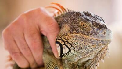 Por qué las autoridades de Florida están pidiendo matar iguanas verdes
