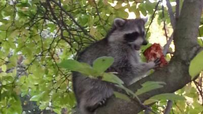 Instan a vacunar a mascotas después de hallar cuatro mapaches con rabia en Inwood, Manhattan