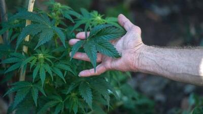 ¿Restaurantes de California incluirían recetas con marihuana tras la legalización de la sustancia?